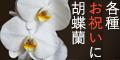 胡蝶蘭ギフト【タウンライフマルシェ】